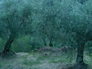 Dolceacqua. Im Olivengarten vom Ferienhaus Casa Rochin