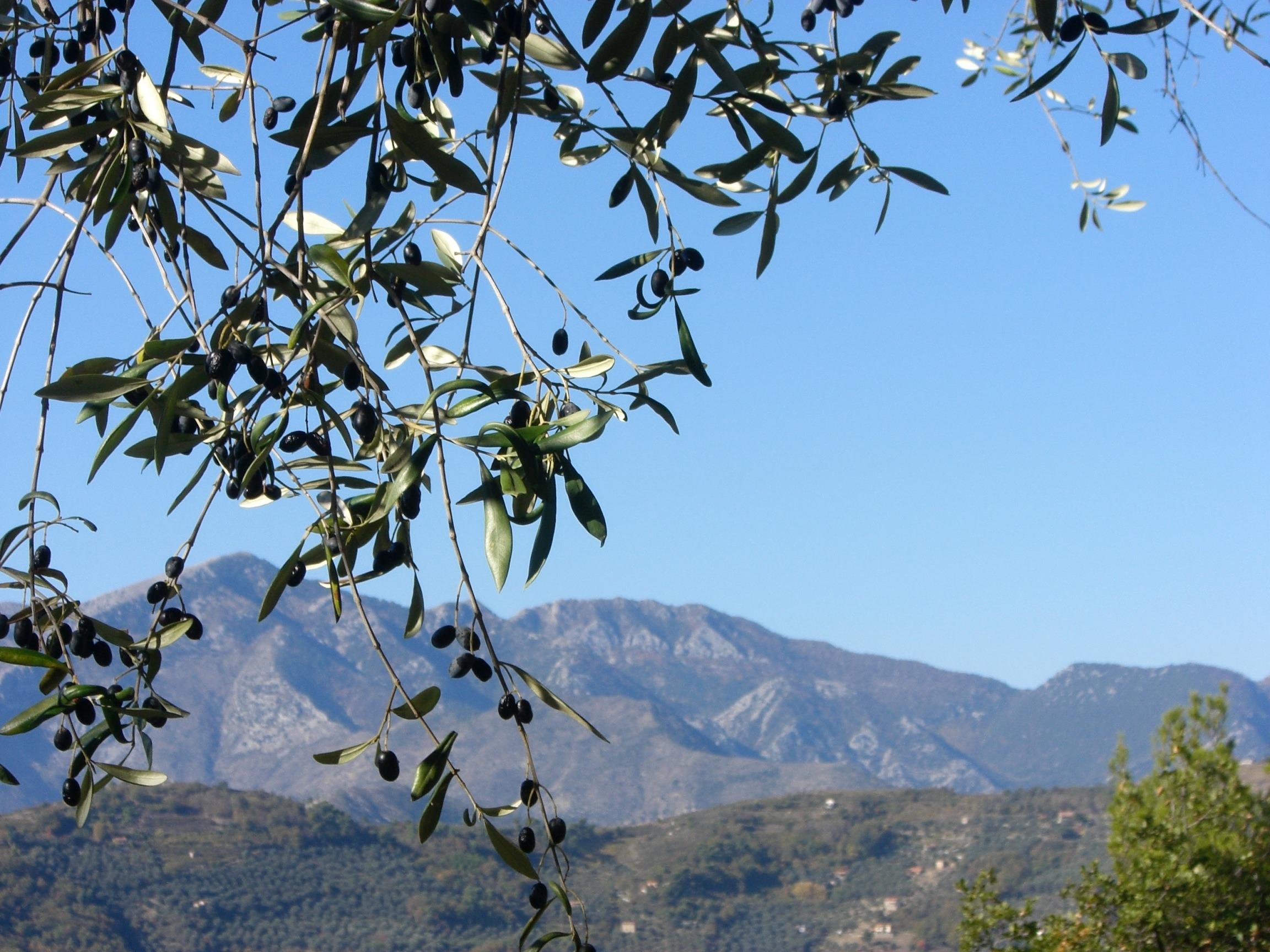 Dolceacqua. Taggiasca Oliven beim Ferienhaus. Urlaub in Ligurien an der italienischen Riviera