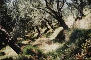 Der terrassierte Olivenhain