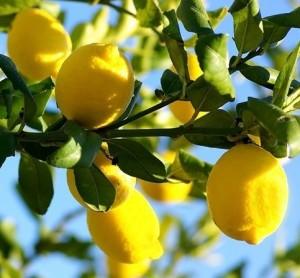 Das Land der Zitronen an der italienischen und französischen Riviera
