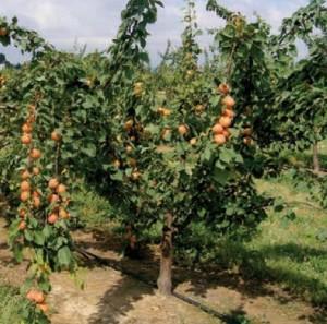 Aprikosenbaum in Ligurien