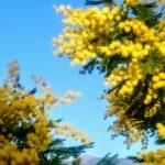 Mimosen an der italienischen Riviera