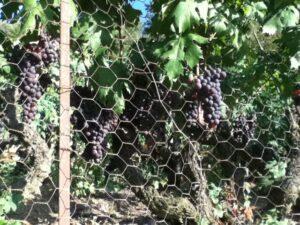 Rossese Trauben aus Dolceacqua. Urlaub an der italienischen Riviera in Ligurien