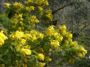 Mimosen beim Ferienhaus Casa Rochin bei Dolceacqua in Ligurien