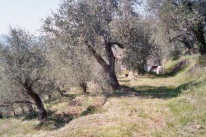 Dolceacqua. Der Olivenhain vom Ferienhaus. Urlaub an der Blumenriviera in Ligurien