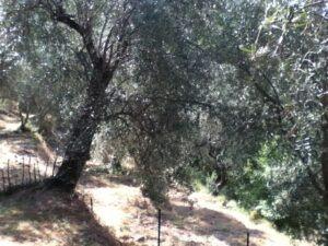 Dolceacqua. Im Ferienhaus an der italienischen Riviera in Ligurien. Der Olivengarten.