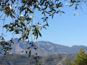 Dolceacqua. Taggiasca Oliven beim Ferienhaus Casa Rochin