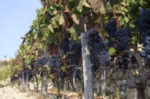 In Dolceacqua an der Blumenriviera in Ligurien werden die berühmten Rossesetrauben angebaut