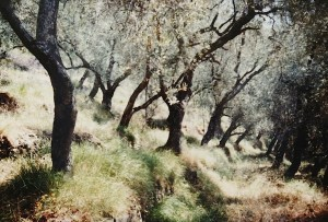 in einem wildromantischen Olivengarten