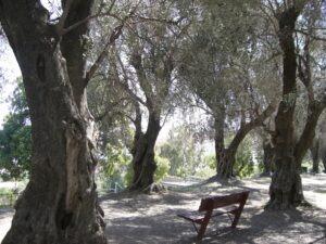 Menton. Le Parc du Pian. Der Olivenhain