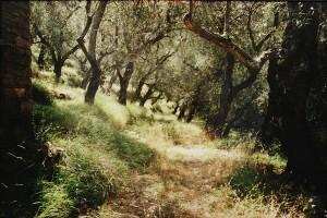 der wilde Olivenhain