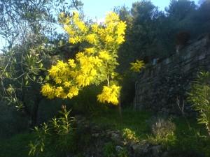 Mimosen beim Ferienhaus Casa Rochin in Dolceacqua