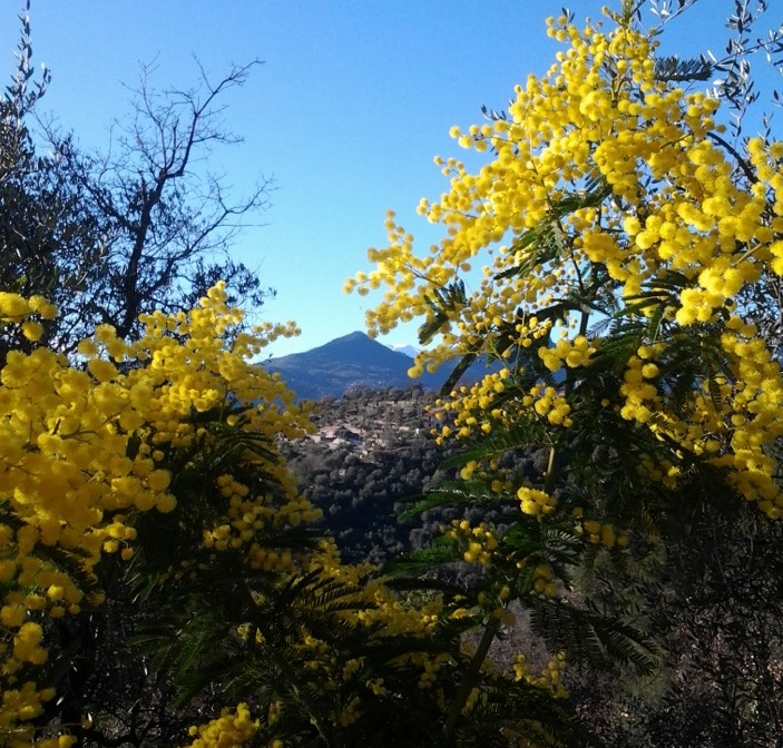 Mimosen in den Huegeln ueber Dolceacqua beim Ferienhaus Casa Rochin