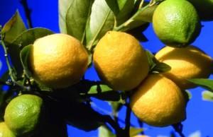 die Zitronen von Menton