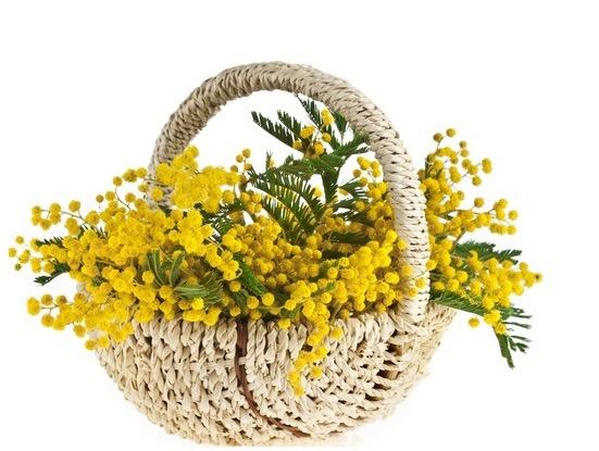 Mimosen werden zum Festa della Donna verschenkt.
