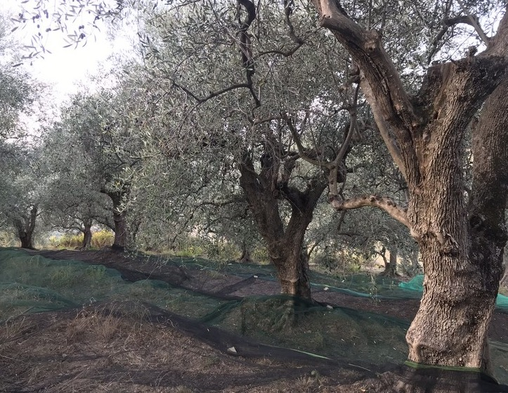 Olivenernte in Ligurien