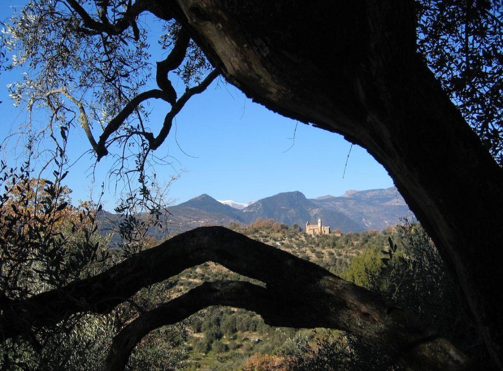 unser alter Olivenbaum